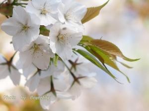 #032  桜