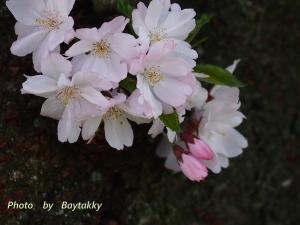 #033  桜