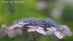 #066 額紫陽花