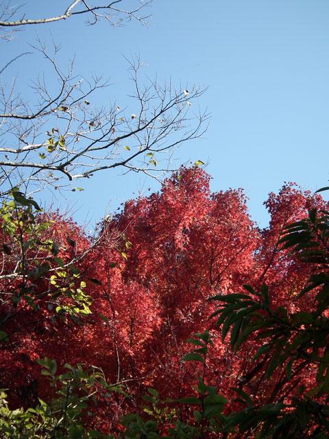 2014伊豆長岡 葛城山の紅葉(4)
