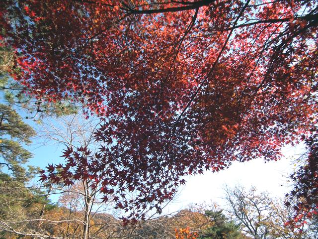 長瀞 月の石もみじ公園の紅葉(3)