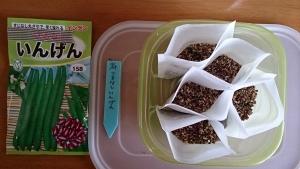 2013-11-25 つるなしいんげん 種蒔き