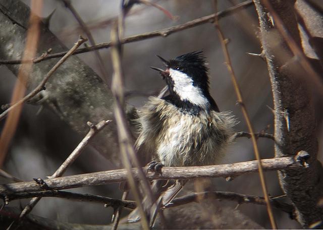 水浴び後の羽づくろいをするヒガラ