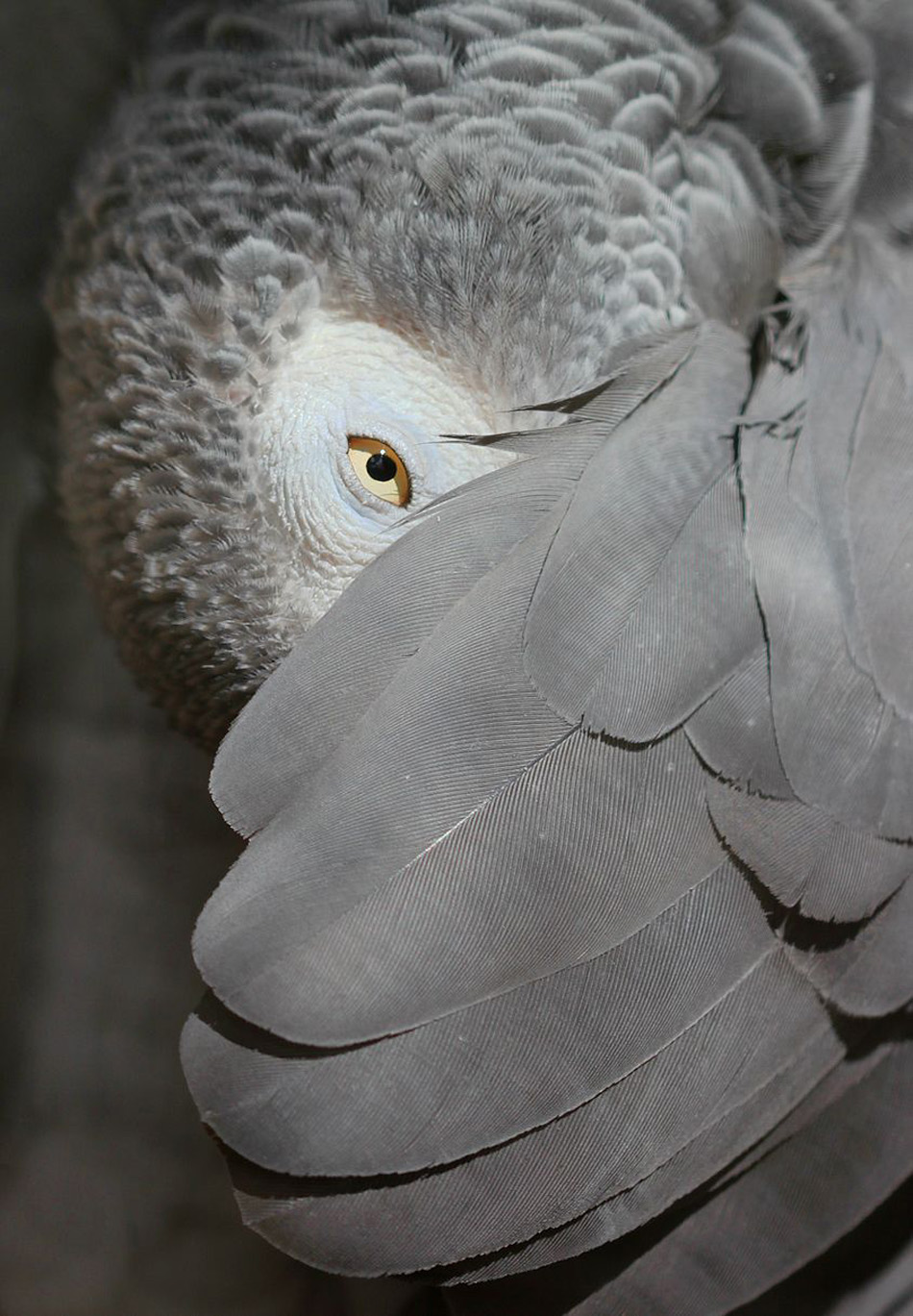845px-African_Grey_Parrot,_peeking_out_from_under_its_wing_-_edit_3