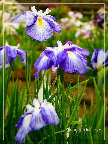 菖蒲(紫)