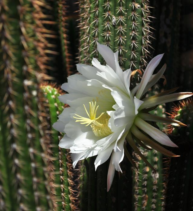 golden torch cactus-04