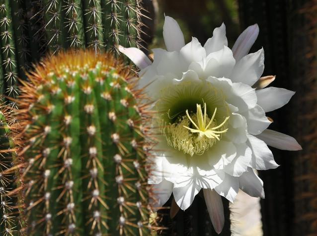 golden torch cactus-02