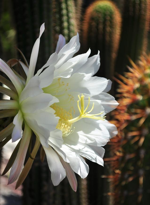 golden torch cactus-01