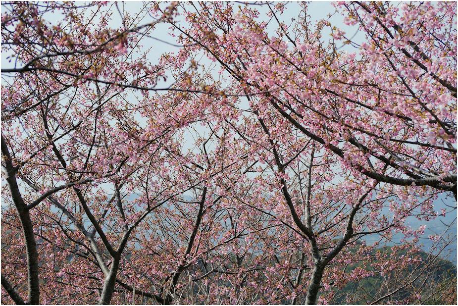 2003年河津桜