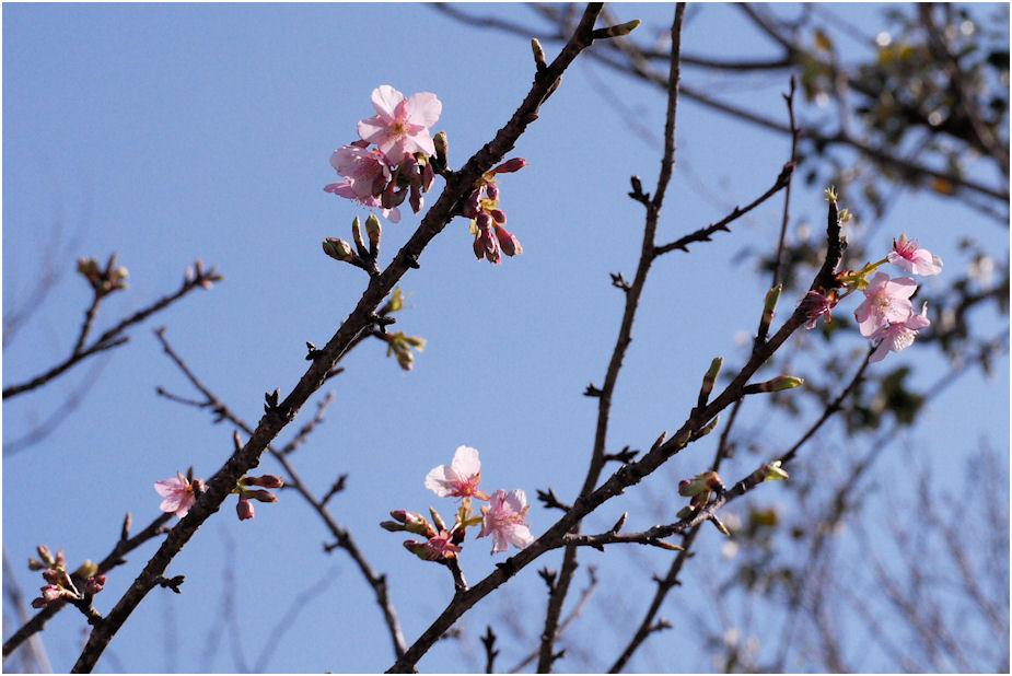 2013河津桜 咲き始め