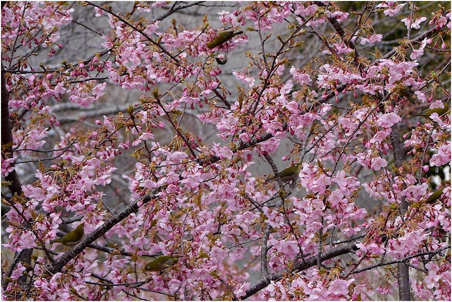 桜に群がるメジロ