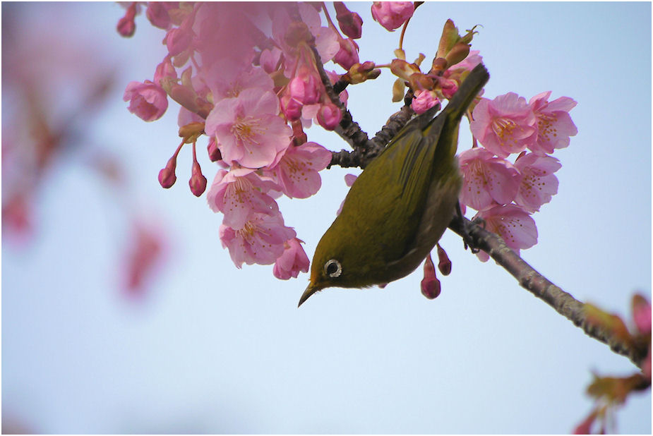 メジロと河津桜