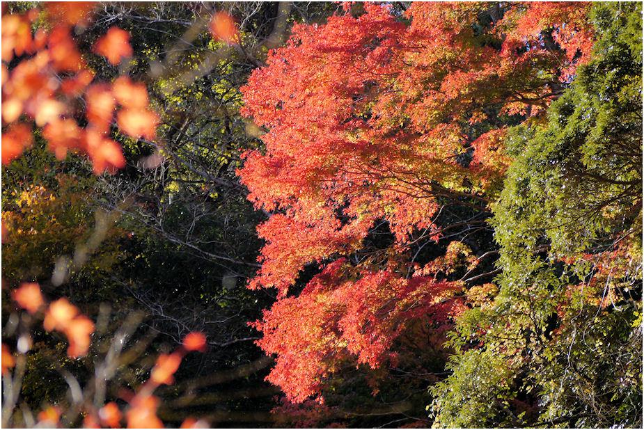 養老渓谷紅葉4