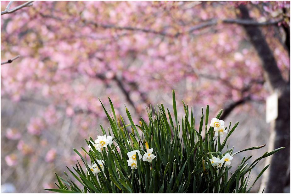 水仙・河津桜