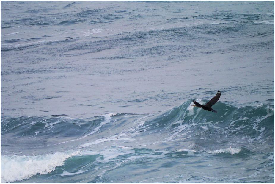 波間の海鵜