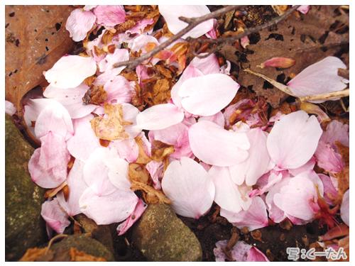 2012芝桜011