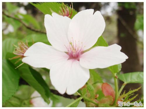 2012芝桜007