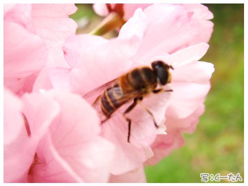 2012芝桜015
