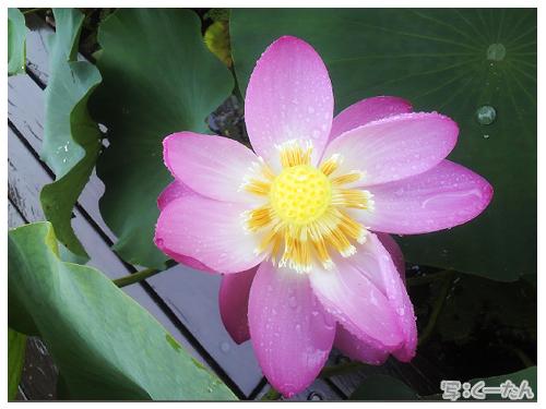 20120708大賀ハス05