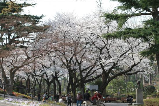 東京競馬場・桜4