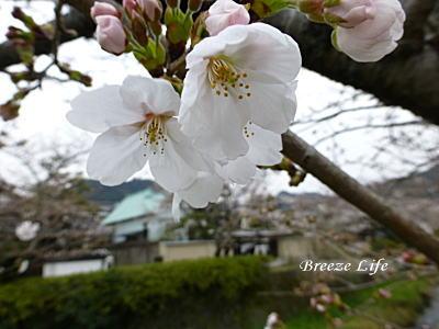 itinosakasakura2.jpg
