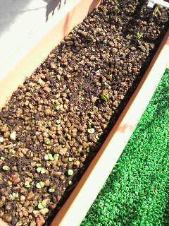 バジルと枝豆 新芽