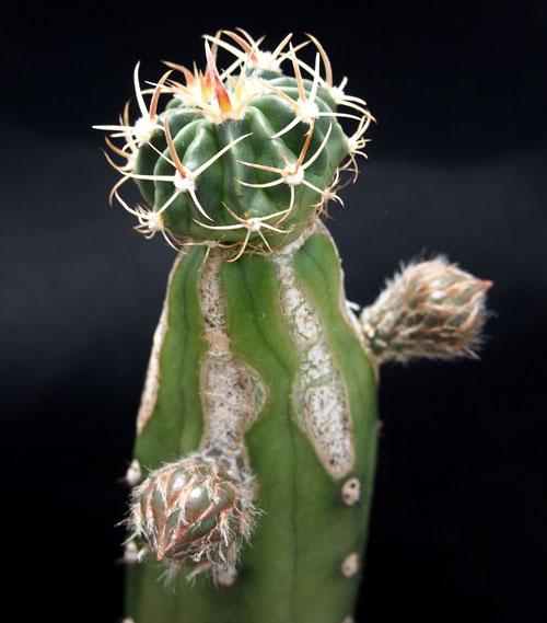台木の花1