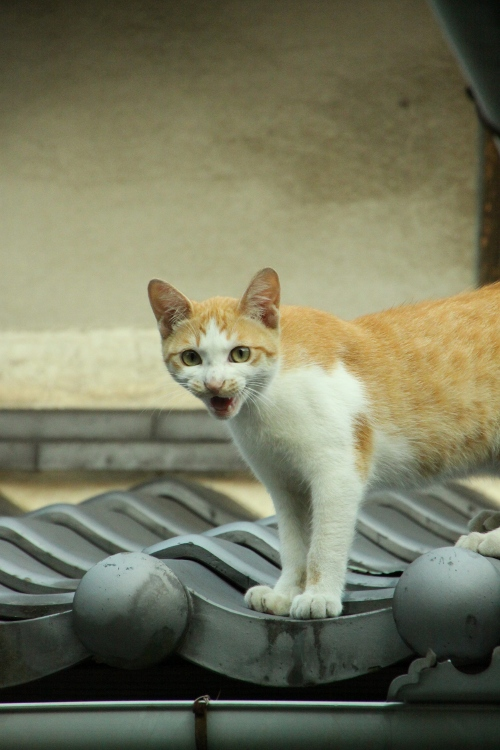 屋根の上のネコ 鳴き声