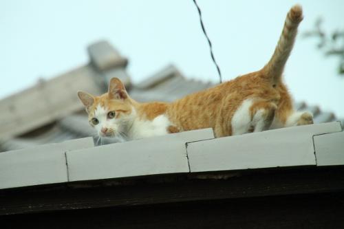 屋根の上のネコ 後ろ姿