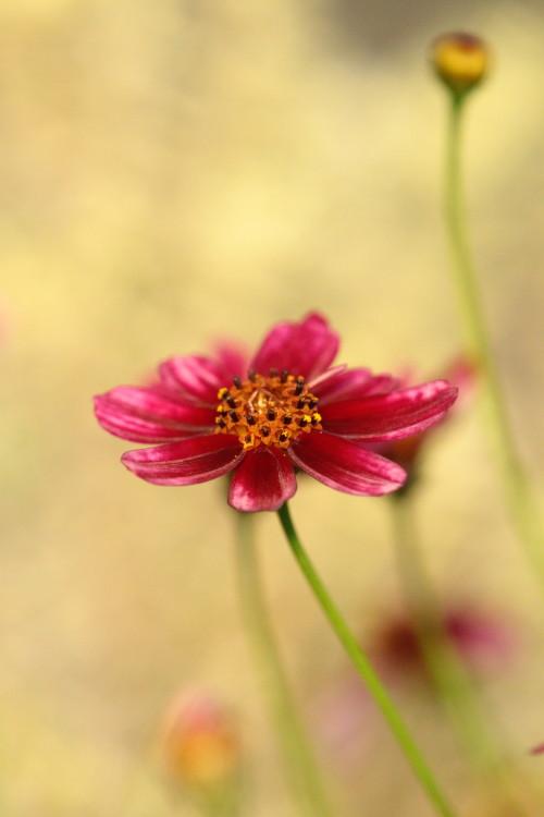 濃いピンクのコスモス2