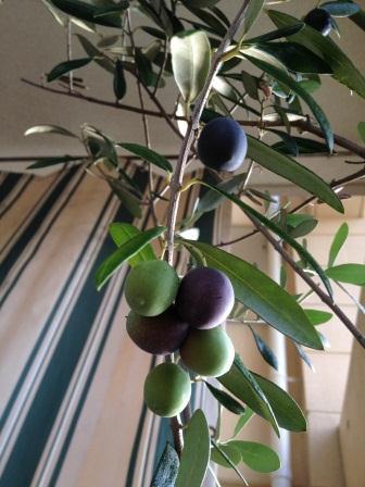 olive,Nov.