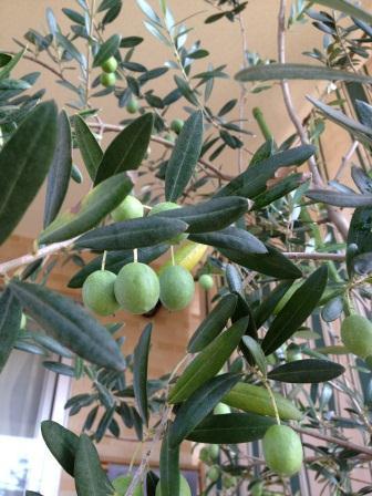 olive.jpg