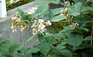 ブラックベリーの花120630