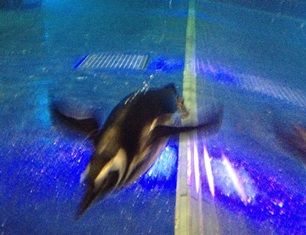 すみだ水族館 ペンギン-1-120715