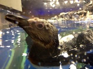 すみだ水族館 ペンギン-2-120715