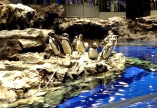 すみだ水族館 ペンギン-3-120715