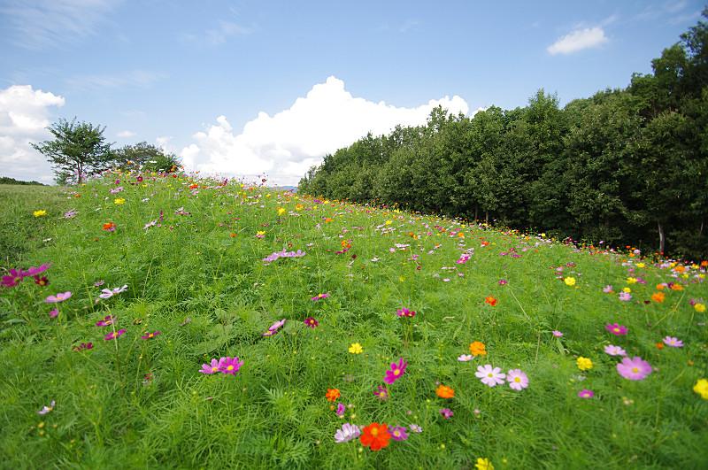 花の丘のコスモス達