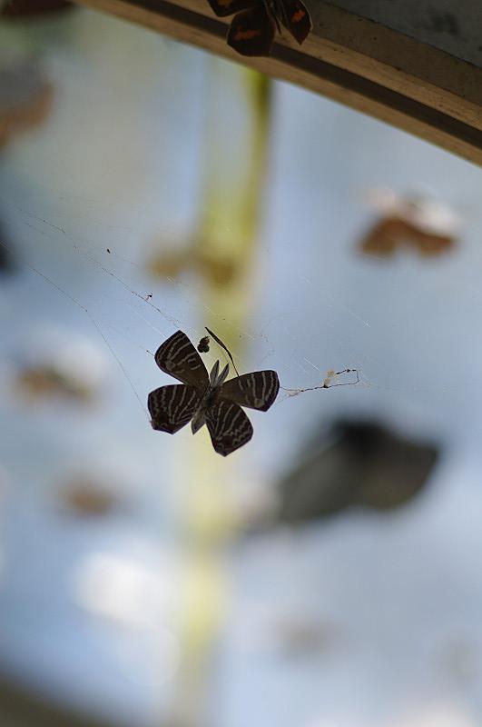 クモの巣に蝶