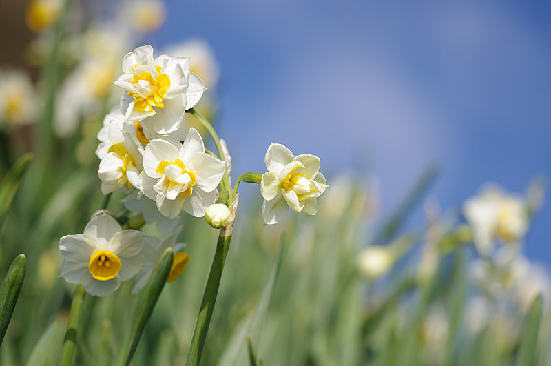 今年話題の八重の花