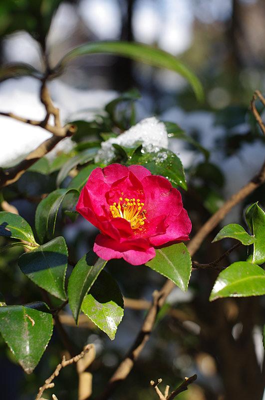 雪の中に咲く椿