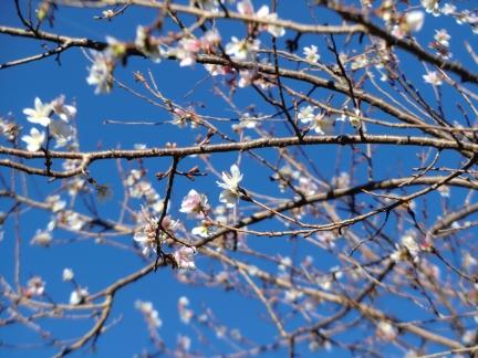 25四季桜2