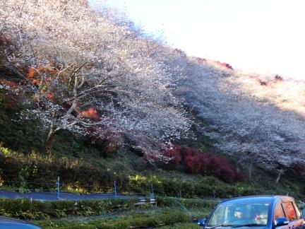 22桜と紅葉の共演