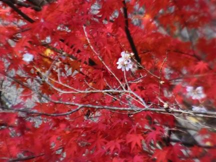 27小原四季桜と紅葉