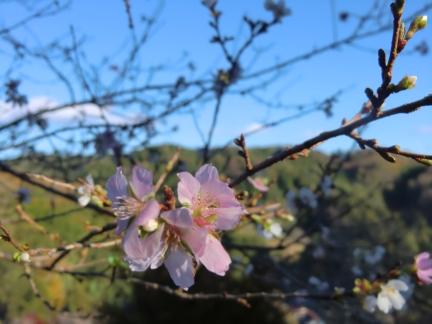 26四季桜3
