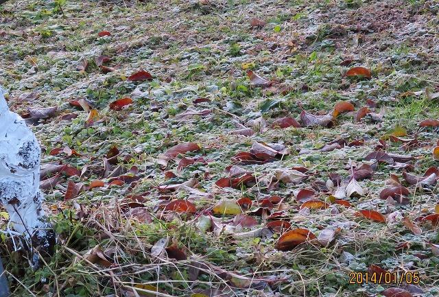 りんご園一面の霜