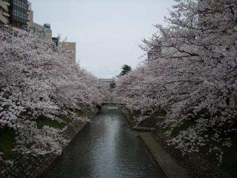 桜・富山1