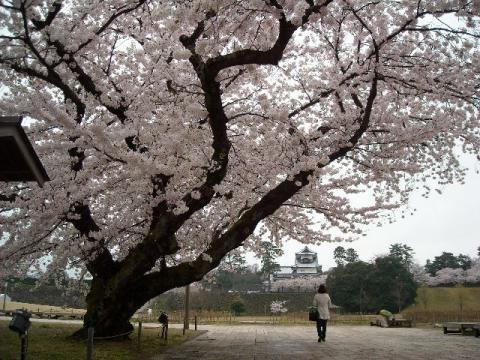 桜・金沢2