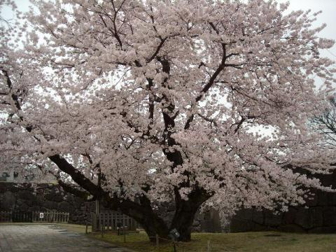 桜・金沢1