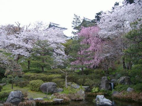 桜・金沢4