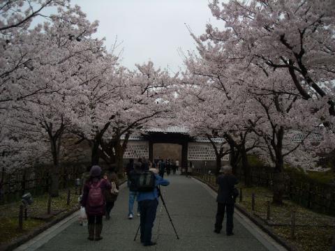 桜・金沢3
